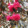 サクテンの石楠花、圧巻!  Magnificent Rhododendron flowers, Sakten