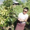 ラックの養殖|東ブータン染織の旅