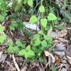 アカネを植えてみた Japanese madder plant