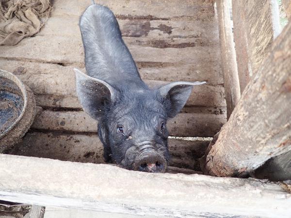 ザカマ村の豚