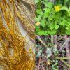 クサノオウでシルクが黄金に染まりました golden colour from Chelidonium majus